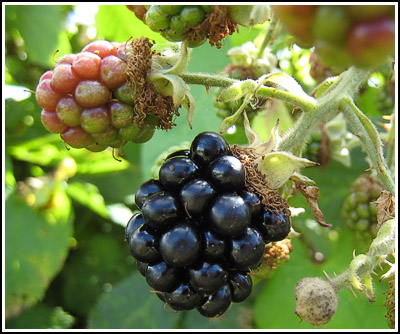Blackberries copy
