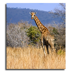Elegance (DanielKHC) Tags: game southafrica interestingness bush nikon bravo wildlife reserve explore giraffe interestingness106 waterberg d300 naturesfinest nodri nohdr 1exp specanimal danielcheong andreinafrica danielkhc panoramapaul nikkor70300mmf4556vr noblending explore13aug08 gettyimagesmeandafrica1