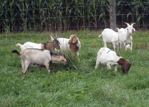 The goats are currently grazing fescue, orchardgrass, and birdsfoot trefoil