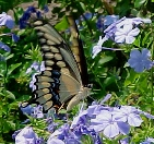 Giant swallowtail on plumbago