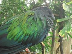 Nicobar Pigeon: cp zoo