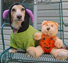 Honey and Teddy (Doxieone) Tags: bear dog cute green english fall halloween spider costume interestingness chair long purple teddy mosaic cream dachshund explore honey final blonde 2008 haired 31 coll 1002 longhaired final1 honeydog topfavorite explored englishcream 57592508 halloweenfall2008set