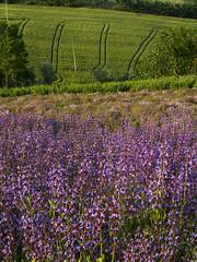 il campo di salvia in fiore (Ruan e Dary) Tags: landscape campagna salvia campo fiori marche paesaggio erbe biologico agricola azienda fattoria officinali