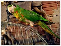imagine-se (Matteus Oberst) Tags: verde sony parrot pássaro vermelho amarelo papagaio tijolo