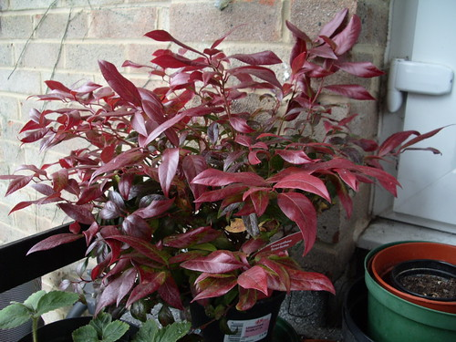 Leucothoe Scarletta - deep red for Autumn