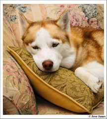 Sleepy Nikki (Jesse James Photography) Tags: dog pet nikon husky flash siberianhusky nikond300