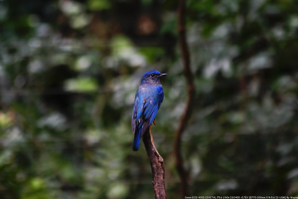 白腹琉璃 Blue-and-white Flycatcher ♂ - IMG_0656