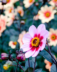 He's not like you.  He's not one of us. (nosha) Tags: dahlia usa flower nature colors beauty america copenhagen denmark us nikon election different bokeh president politics presidential september explore hate disgusting rove candidate conservative smear scandinavia 2008 liberal obama mccain disgust wacko uselection alaskan election2008 palin partisan deplorable kobenhavn neocon d300 xenophobia johnmccain lowroad 18200mm nosha explored hbw sarahpalin rovian smeartactics sarapalin wegetwhatwedeserve gotellmamaimvotingforobama alaskansagainstpalin