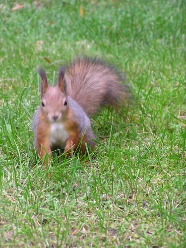 Orava nurmella katsomassa kohti kuvaajaa