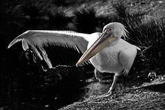 Balance (hans s) Tags: pelican balance 2008 avifauna balansdag