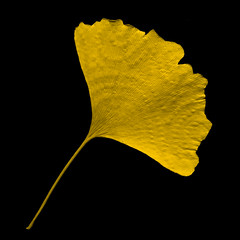 Golden Ginko (manganite) Tags: autumn black color macro fall nature topf25 leaves yellow closeup digital germany square geotagged leaf nikon colorful europe bonn searchthebest tl onecolor d200 nikkor dslr ginko 50mmf18 northrhinewestphalia closeuplense saesons thecoloryellow utatafeature manganite nikonstunninggallery gluckstrasse repost1 date:year=2008 gluckstrase date:month=november date:day=9 geo:lat=50733205 geo:lon=7090229 format:orientation=square format:ratio=11 repost2 repost3