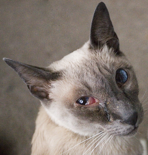 Siamese Cat with Eye Infection- Advice needed! | Blue Point