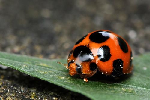 十斑盤瓢蟲 Lemnia Bissellata