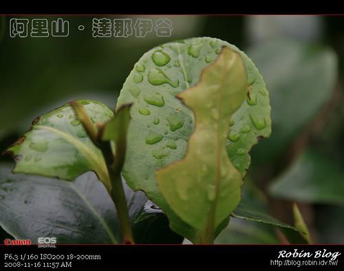 你拍攝的 20081116數位攝影_阿里山之旅285.jpg。