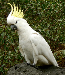 A Very Content and Happy Sulphur-Crested Cockatoo! (ianmichaelthomas) Tags: birds parrots lorikeets galahs cockatoos birdwatcher smorgasbord pgw latrobeuniversity animaladdiction specanimal goldenmix australiannativebirds wildlifeofaustralia avianexcellence worldofanimals auselite naturewatcher wonderfulworldmix bundooravictoriaaustralia photographersgonewild wildandfree vosplusbellesphotos sulphurcrestedcockatoos themasterphotographer