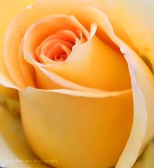 Rose of yellow (lynne_b) Tags: fab flower nature floral rose yellow closeup petals illinois flora blossom rosa yellowrose archives bloom bud rosegarden creamy explored