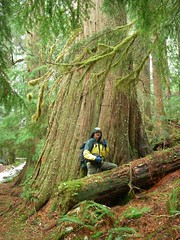 A hiker standing in front of giant cedar