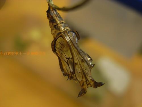 你拍攝的 空蛹。