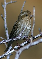 Carpodacus purpureus Purple Finch (female)