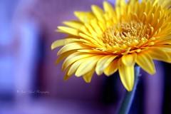 (Sara Alfred) Tags: blue flower yellow canon dof purple gerbera tones