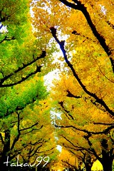 Meiji Jingu Gaien Avenue Lined with Ginkgo Trees, Japan (_takau99) Tags: trip travel november autumn trees vacation holiday tree fall yellow topv111 japan garden lumix japanese tokyo leaf ginkgo topv333 shrine autumnleaves panasonic 日本 東京 outer 紅葉 秋 avenue 2008 神宮外苑 topf10 meiji jingu meijishrine gaien 神宮 明治神宮 topf5 topf20 外苑 jingugaien fx30 takau99 明治神宮外苑 dmcfx30 outergarden