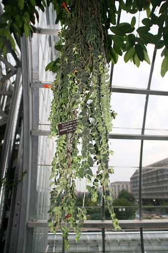 columnea goldfish plant. Goldfish Plant (Columnea