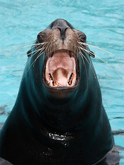 Kalifornischer Seelwe / California Sea Lion (Zalophus californianus) (Sexecutioner) Tags: california sea portrait cute nature animal animals digital canon germany deutschland zoo tiere colorful wildlife natur lion 2008 duisburg nordrheinwestfalen tier seelwe californiasealion californianus zalophuscalifornianus zooduisburg kalifornischerseelwe zalophus mywinners kalifornischer copyrightsexecutioner