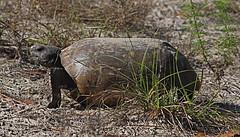 Tortoise (detail)