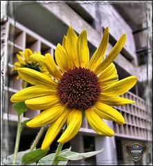 Sunflower :: HDR (Explored) (Xploi ) Tags: world pakistan copyright love canon eos 350d one still asia king shot heart  captured creative sunflower karachi 2008 soe hdr atif supershot mywinners theunforgettablepictures xploiter