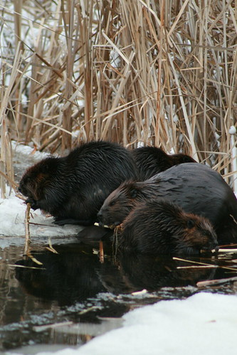 4 beavers on christmas day 2007