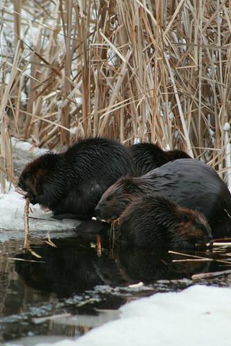 4 beavers on christmas day 2007