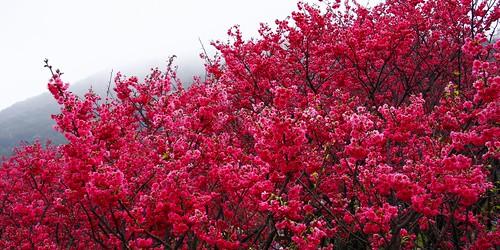 陽明山櫻花林