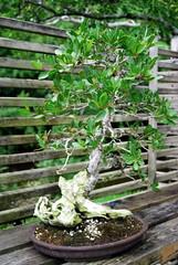 DSC_6701 (tehbizz) Tags: teaceremony morikami sadotea