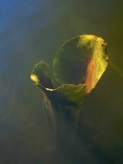 I Shall Rise (Nurse Kato) Tags: color water washington spring growth polarizer lilypad g10 lensmate canonpowershotg10 canong10