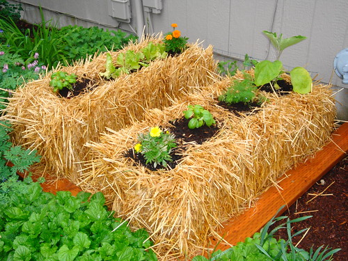 growing plants in hay bales We have eggplant, lettuce, basil, dill, and patty-pan squash. I ...