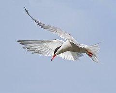 Rutland Tern 3 (Andrew Haynes Wildlife Images ( away for a while )) Tags: birthday bird nature wildlife flight rutland rutlandwater commontern canon7d ajh2008