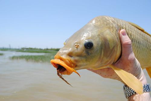 Hungry Hungry Carp