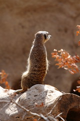 A Simples Life (@richlewis) Tags: nature valencia animal rock mammal zoo spain meerkat sitting suricatasuricatta bioparc canonef70200mmf4lisusm canonef14xiiextender canoneos7d zooimmersionconcept