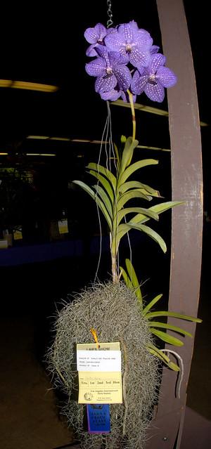 Vanda coerulea hybrid