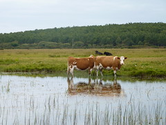 Cows reflecting (ronmcbride66) Tags: lake reflection reeds reflecting cattle cows sligo mullaghmore watermeadow coth supershot sunrays5