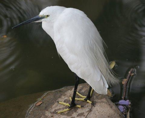 little egret lalbagh 010308