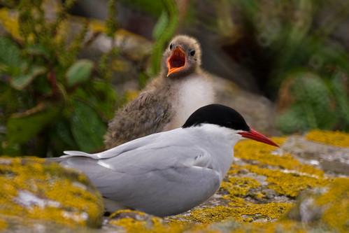 Arctic Tern 7D-4430