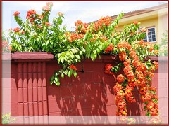 Spectacular blooms of Bauhinia kockiana, cascading over a garden wall