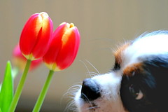 """I hope she'll like these"" (An Gobn Saor) Tags: dog flower tulips tulip toffee cavalierkingcharles admire angobnsaor gobnsaor"