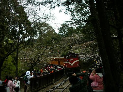 火車和櫻花合照