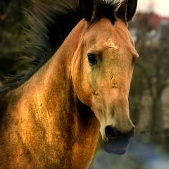 golden Sunday afternoon (Dan65) Tags: horse gold golden head metallic run canter mane shimmer gallop buckskin dun teke akhal akhalteke gazan