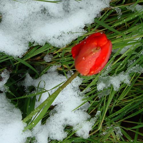 Tulipe en neige detail