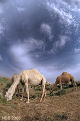 CAMEL (N-S-S) Tags: nikon fisheye camel kuwait 105 nikkor  nasser       vwc     d2xs    kvwc  alsolihem
