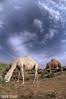 CAMEL (N-S-S) Tags: nikon fisheye camel kuwait 105 nikkor مركز nasser جمال الكويت كويت ناقه طبيعة بعير vwc جمل ابل ناصر العمل d2xs بعارين نياق التطوعي kvwc الصليهم alsolihem