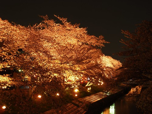 高田川(夜桜)-06